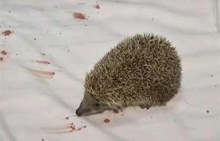 China Hotel Guest Injured by Hedgehog in Pillow Case